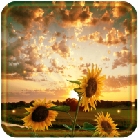 Sunflower Sunset 2018 live wallpaper