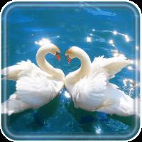 Swans Nobles live wallpaper