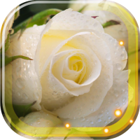 Roses White LWP