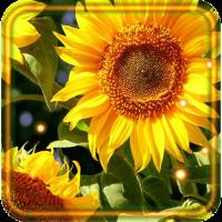 Sunflowers Free 2016