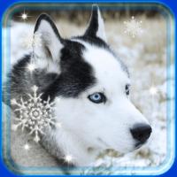 Husky Winter