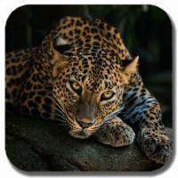 Jaguars HD Gallery