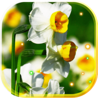 Narcissus Wild live wallpaper