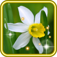 Narcissus Spring