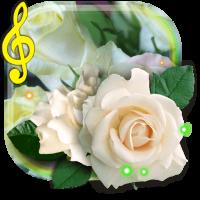 Rose White live wallpaper