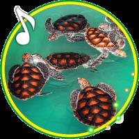 Turtles Cute live wallpaper