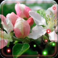 Apple Blossoms live wallpaper