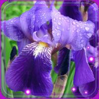 Irises Best live wallpaper