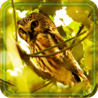 Owls Free HD live wallpaper