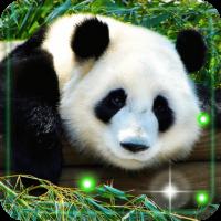 Panda Cool live wallpaper